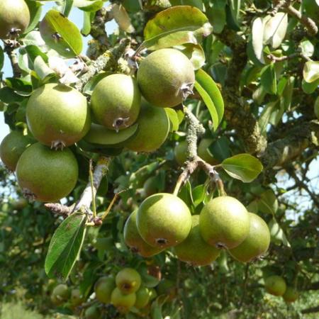 Buy Perry Pear trees online – Heritage Fruit Tree Nursery