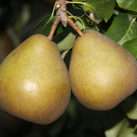 Buy pear trees online – Nationwide Delivery - Heritage Fruit