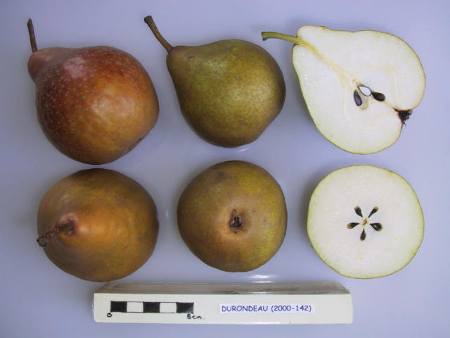 Durondeau Pear trees for sale online Ireland – Heritage
