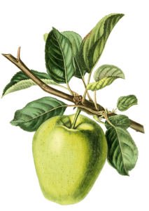 heritage apple trees for sale