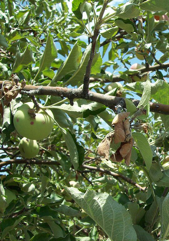 diseases of apple trees