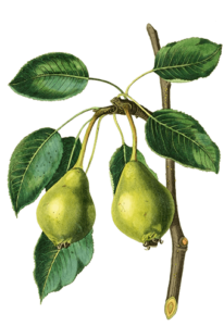 perry pears grown on rootstocks